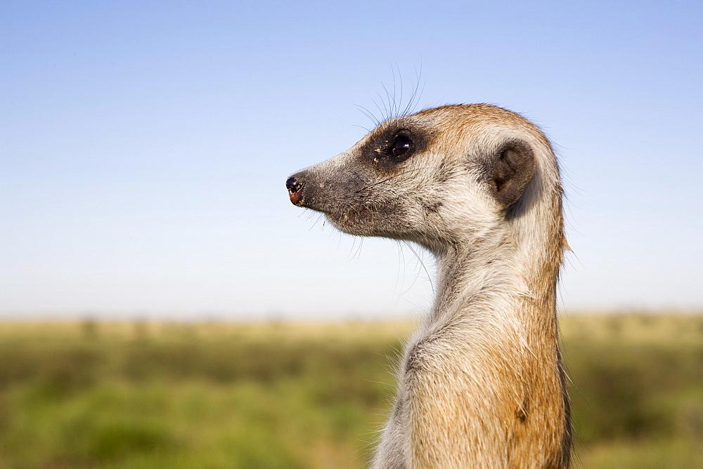 Meerkat (Suricata suricatta) sentinel, Kalahari Meerkat Project, Van Zylsrus, Northern Cape, South Africa, Africa - 743-653