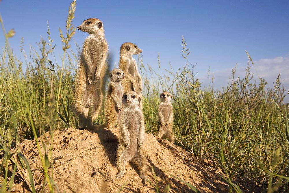 Group of meerkats (Suricata suricatta), Kalahari Meerkat Project, Van Zylsrus, Northern Cape, South Africa, Africa
