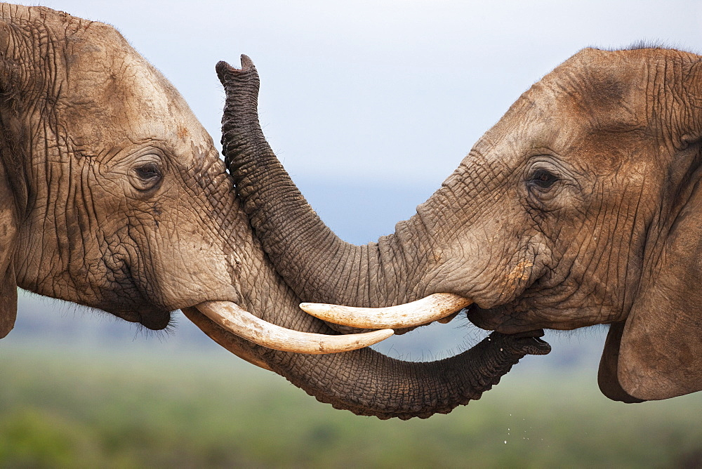 Elephants (Loxodonta africana), greeting, Addo National Park, South Africa, Africa - 743-686