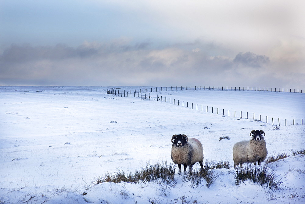 Northumberland blackface sheep in snow, Tarset, Hexham, Northumberland, United Kingdom, Europe - 743-695