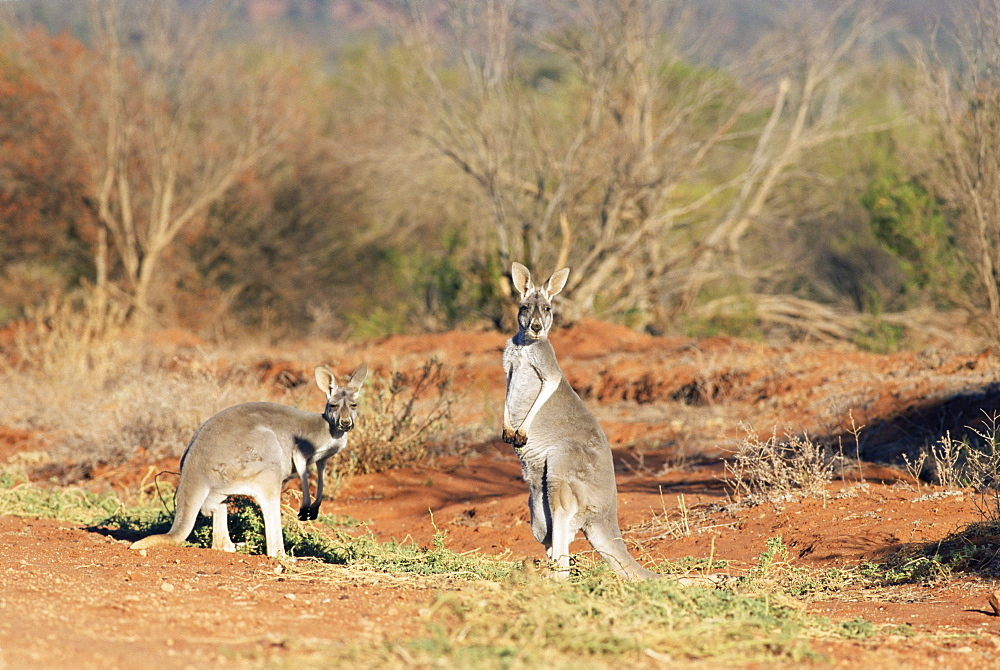 Two red kangaroos, Macropus rufus, Mootwingee National Park, New South Wales, Australia, Pacific