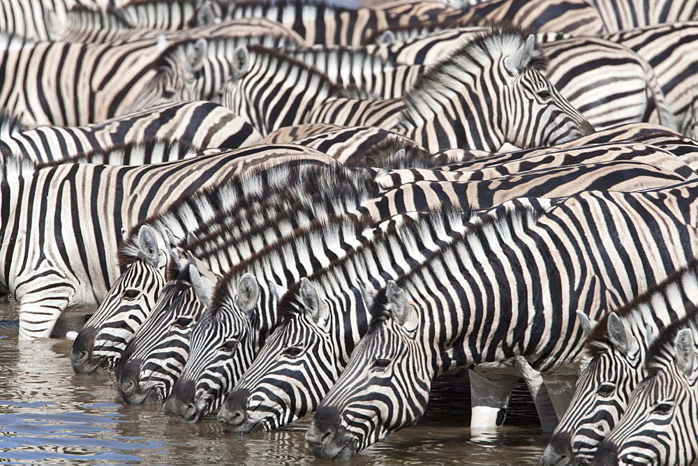 Burchell's (plains) zebra (Equus burchelli), at waterhole, Etosha National Park, Namibia, Africa - 743-734