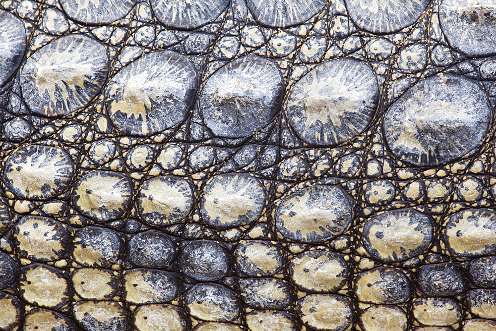 Stock Close-up photo of the Nile crocodile's skin