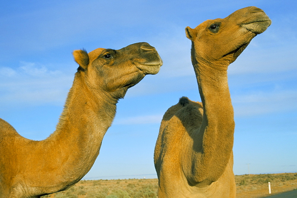 Arabian camels (Camelus dromedarius), feral in outback, New South Wales, Australia, Pacific