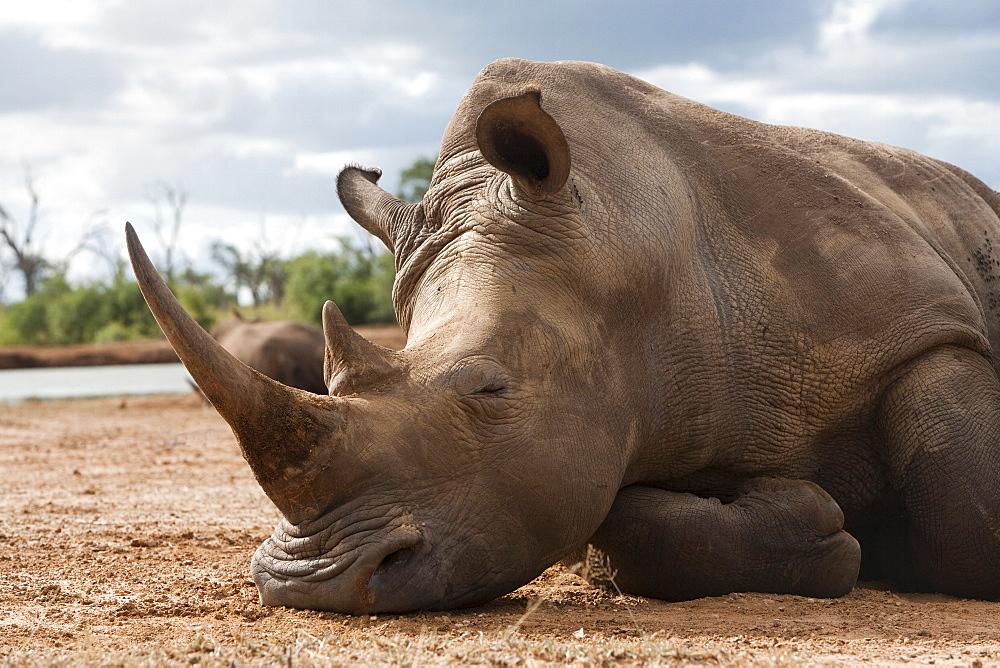 White rhino (Ceratotherium simum), Royal Hlane National Park, Swaziland, Africa