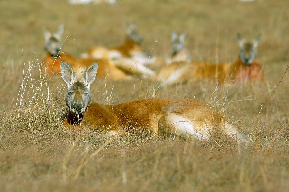 Mob of red kangaroo (Macropus rufus), Tidbinbilla Reserve, New South Wales, Australia, Pacific