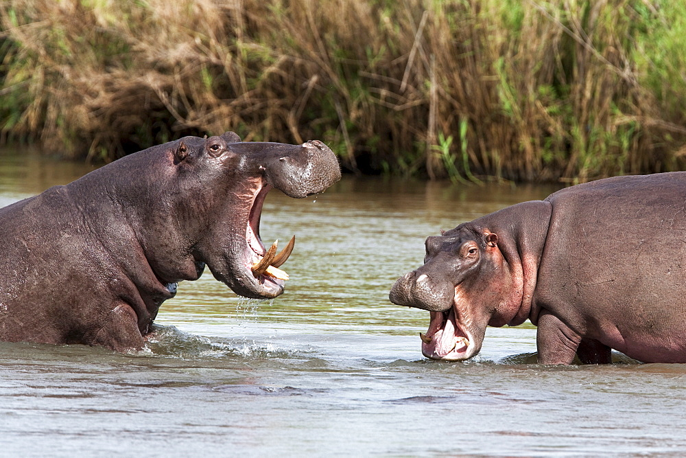 Hippo (Hippopotamus amphibius), fighting, Kruger National park, Mpumalanga, South Africa, Africa