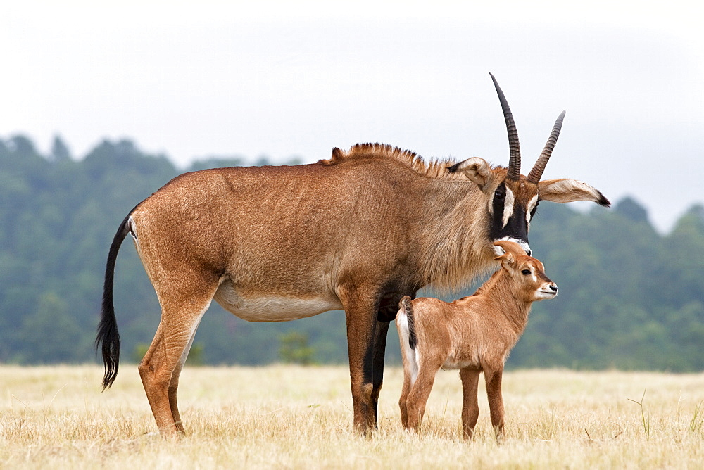 Roan (Hippotragus equinus) with baby, Mlilwane Nature Reserve breeding programme, Swaziland, Africa