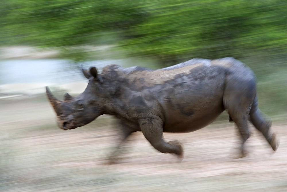 White rhino (Ceratotherium simum) charging, Hlane Royal National Park game reserve, Swaziland, Africa