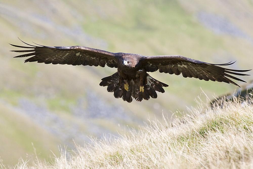 A captive golden eagle (Aquila chrysaetos), flying over moorland, United Kingdom, Europe