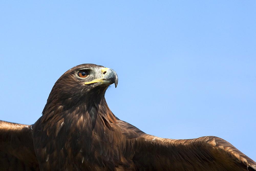 Captive golden eagle (Aquila chrysaetos), close up, United Kingdom, Europe