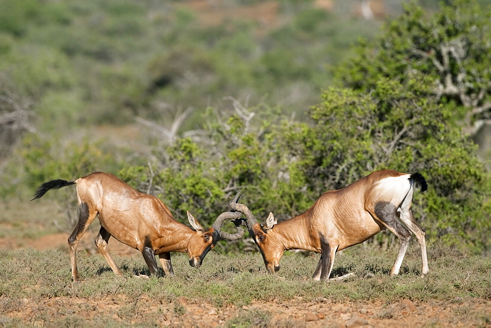 Red hartebeest (Alcelaphus buselaphus), males fighting, Samara private game reserve, Eastern Cape, South Africa, Africa