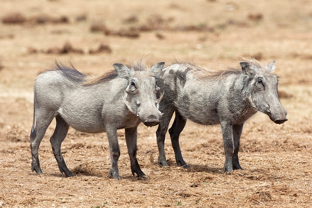 Warthogs (Phacochoerus aethiopicus), sub adult, Addo National Park, Eastern Cape, South Africa, Africa