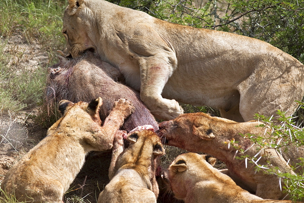 Lioness with cubs (Panthera leo) on warthog kill, Kwandwe private reserve, Eastern Cape, South Africa, Africa