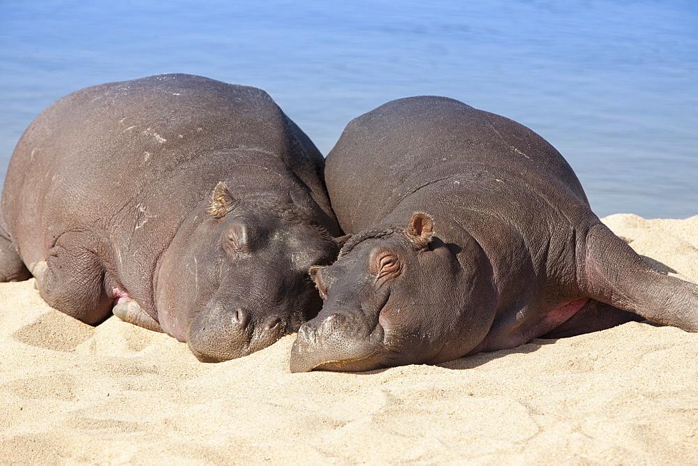 Hippopotamus (Hippopotamus amphibius) sleeping, Kruger National Park, Mpumalanga, South Africa, Africa