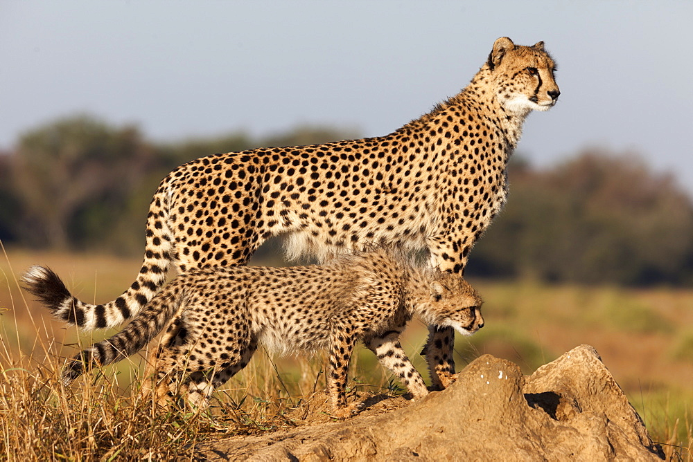 Cheetah with cub (Acinonyx jubatus), Phinda private game reserve, Kwazulu Natal, South Africa, Africa
