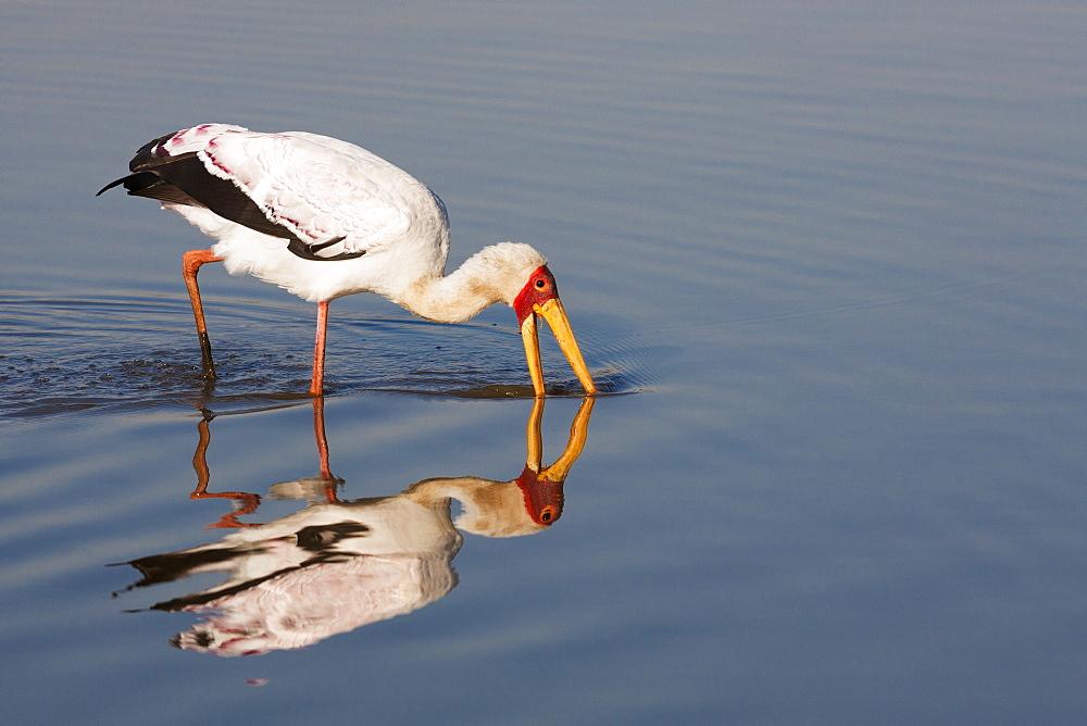 Yellowbilled stork (Mycteria ibis), Kruger National Park, South Africa, Africa