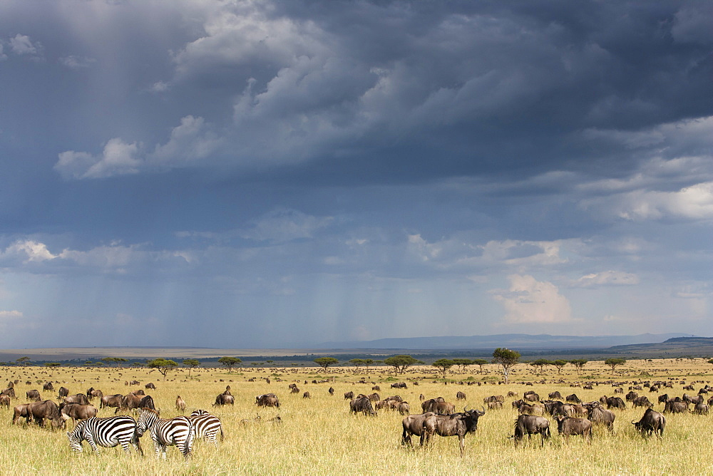 Common wildebeest (blue wildebeest) (gnu) (Connochaetes taurinus) on migration, Masai Mara National Reserve, Kenya, East Africa, Africa