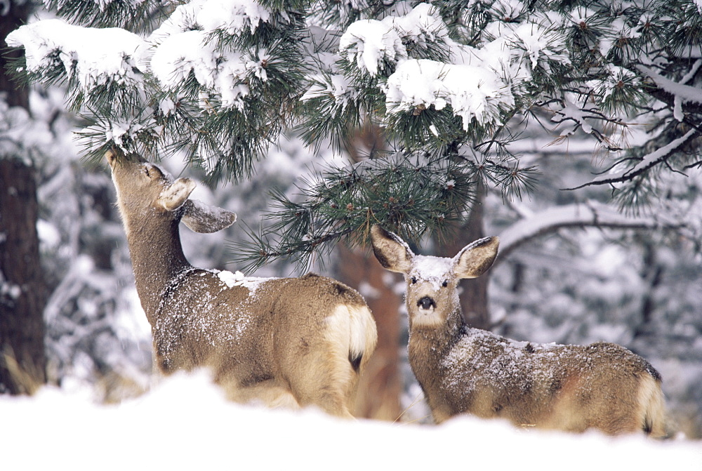 Mule deer mother and fawn in snow, Boulder, Colorado, United States of America, North America
