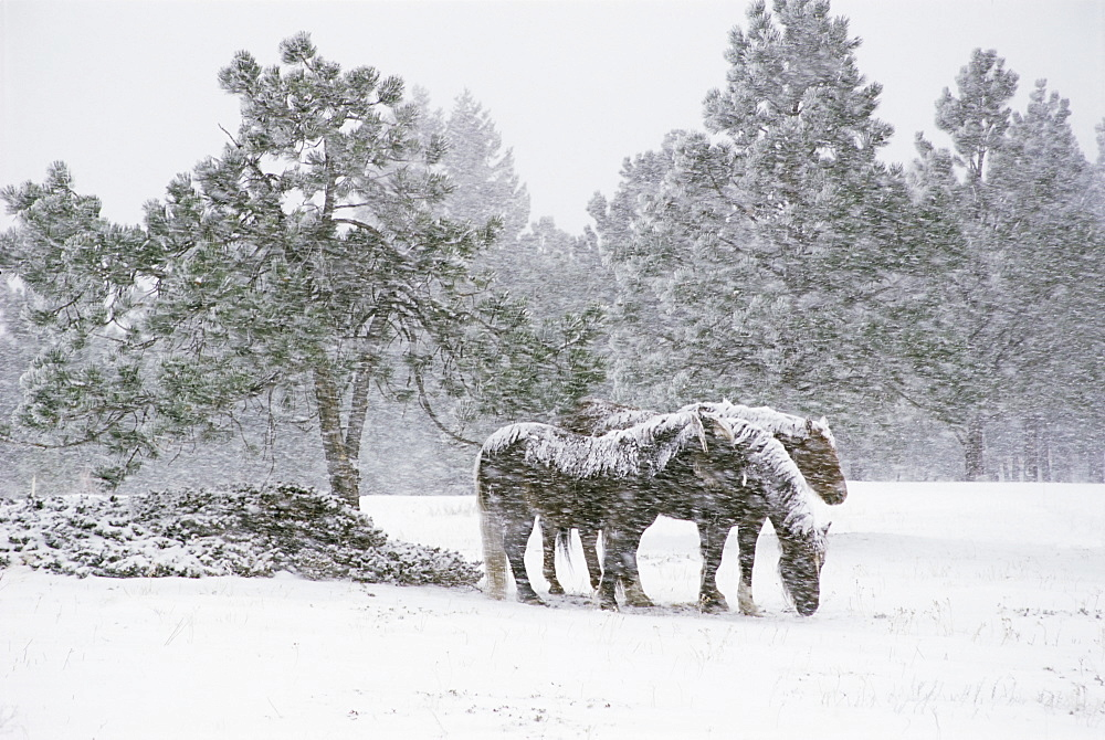Horses in a snowstorm, Colorado, United States of America, North America - 745-44