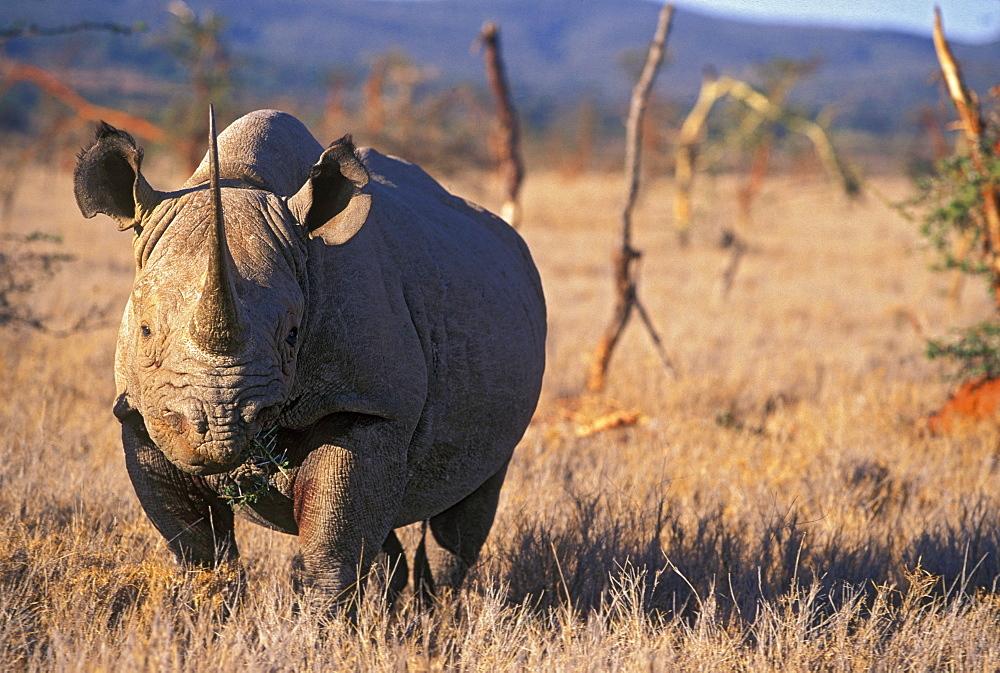 Black Rhino, East Africa, Africa - 745-87