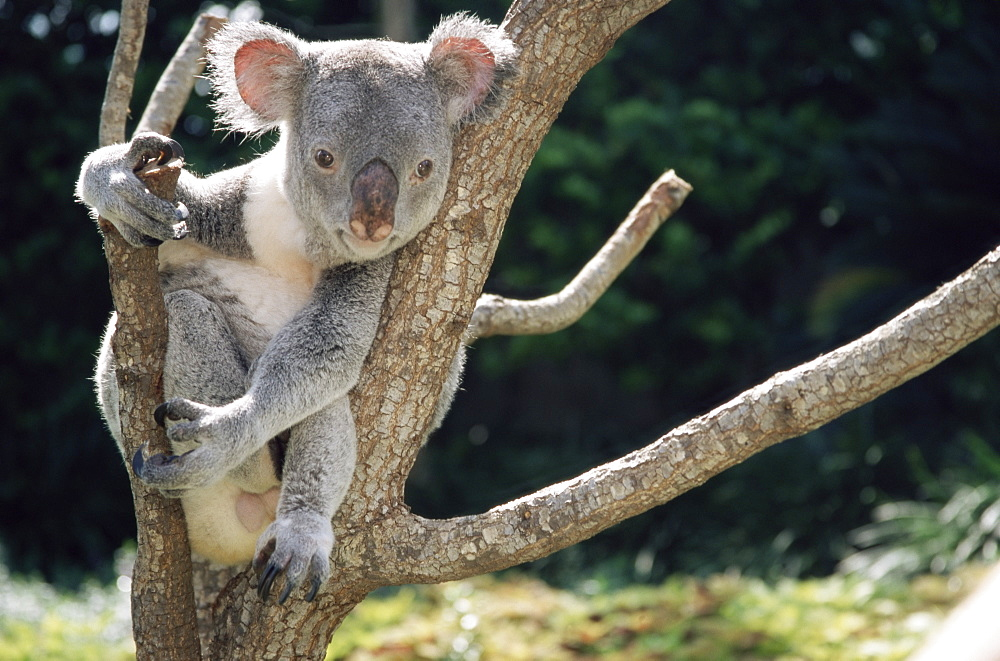 Koala bear in a tree in captivity, Australia, Pacific