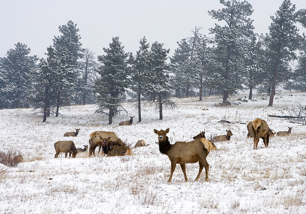Elk herd, Flagstaff Mountain, Colorado, United States of America, North America - 745-91