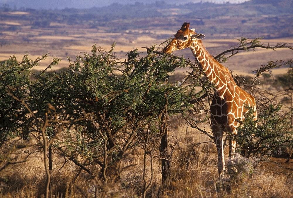 Giraffe feeding, Kenya, East Africa, Africa - 745-93