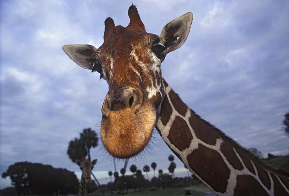 Giraffe, Africa - 745-94