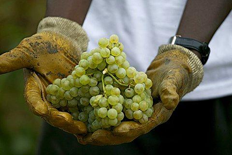 Grape harvesting, Bellavista winery, Erbusco, Franciacorta, Lombardy, Italy.