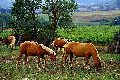 Horse-breeding, Montemelino, Solomeo, Umbria, Italy