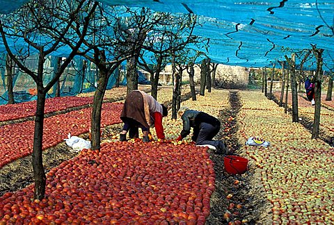 Annurca apples in a typical apples cultivation, Sant'agata De Goti, Campania, Italy