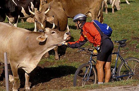 Cows, Oseli, Trentino Alto-Adige, Italy