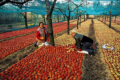 Apple cultivation, Sant'Agata de' Goti, Campania, Italy
