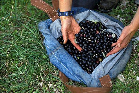 Olive-picking, Bovara di Trevi, Umbria, Italy