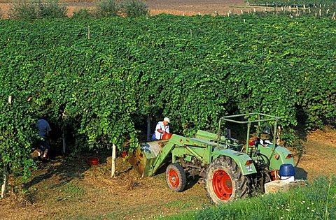 Vineyard, Masera' di Padova, Veneto, Italy