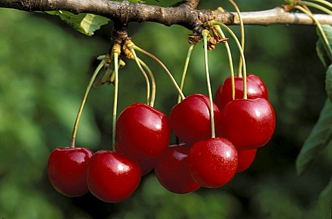Prunus Avium, Cherries, Italy