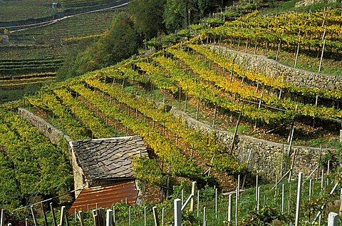Vineyard, Val di Cembra, Trentino, Italy