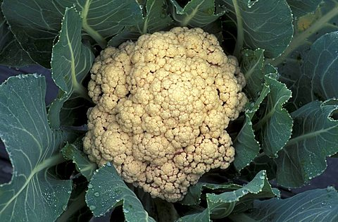 Cauliflower, Italy