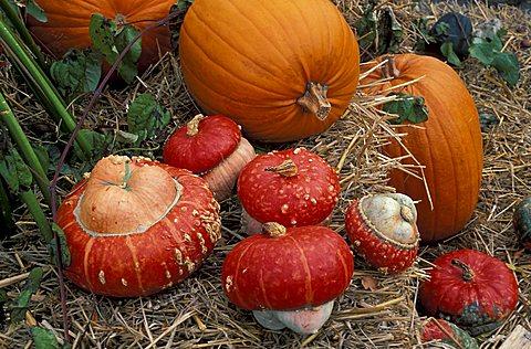 Cucurbita, Pumpkin, Italy