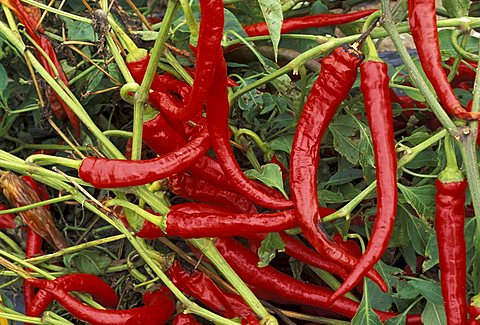 Hot pepper, Italy