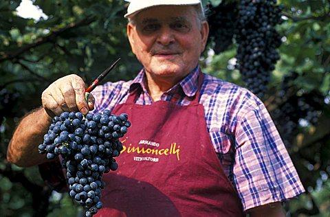 Harvesting in Cantina Simoncelli, Rovereto, Trentino, Italy