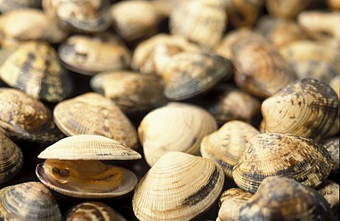 Clams, Isola Del Giglio, Toscana, Tuscany, Italy