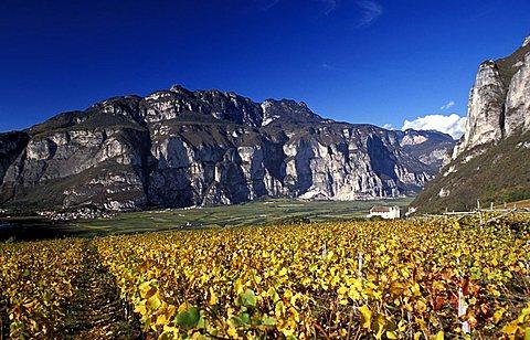 Vineyard, Mezzocorona, Piana Rotaliana, Trentino Alto Adige, Italy