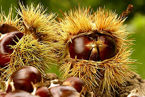 Chestnut, Italy