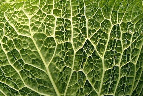 Leaf, Brassica oleracea ssp. sabauda, Italy