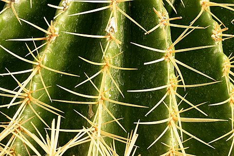Echinocactus grusonii, mother-in-law's cushion, cactus, cuscino della suocera