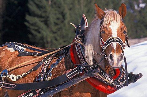Antique sleigh, Alta Badia, Trentino Alto Adige, Italy