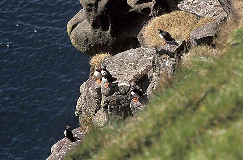Puffins and other birds on Koltur Island, Faroer Islands, Denmark, Atlantic Ocean