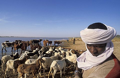 Tuareg man with cows, Republic of Niger, West Africa, Africa
